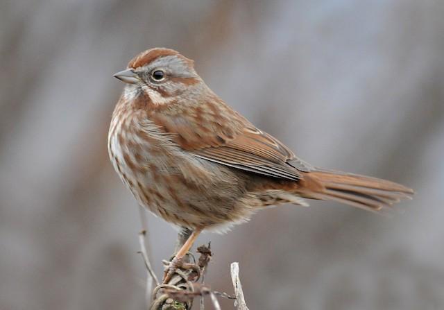 Song Sparrow (montana/merrilli)