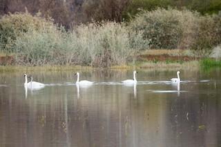 Tundra Swan, ML45508821
