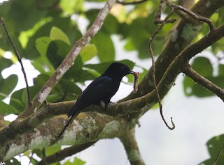 - Philippine Drongo-Cuckoo
