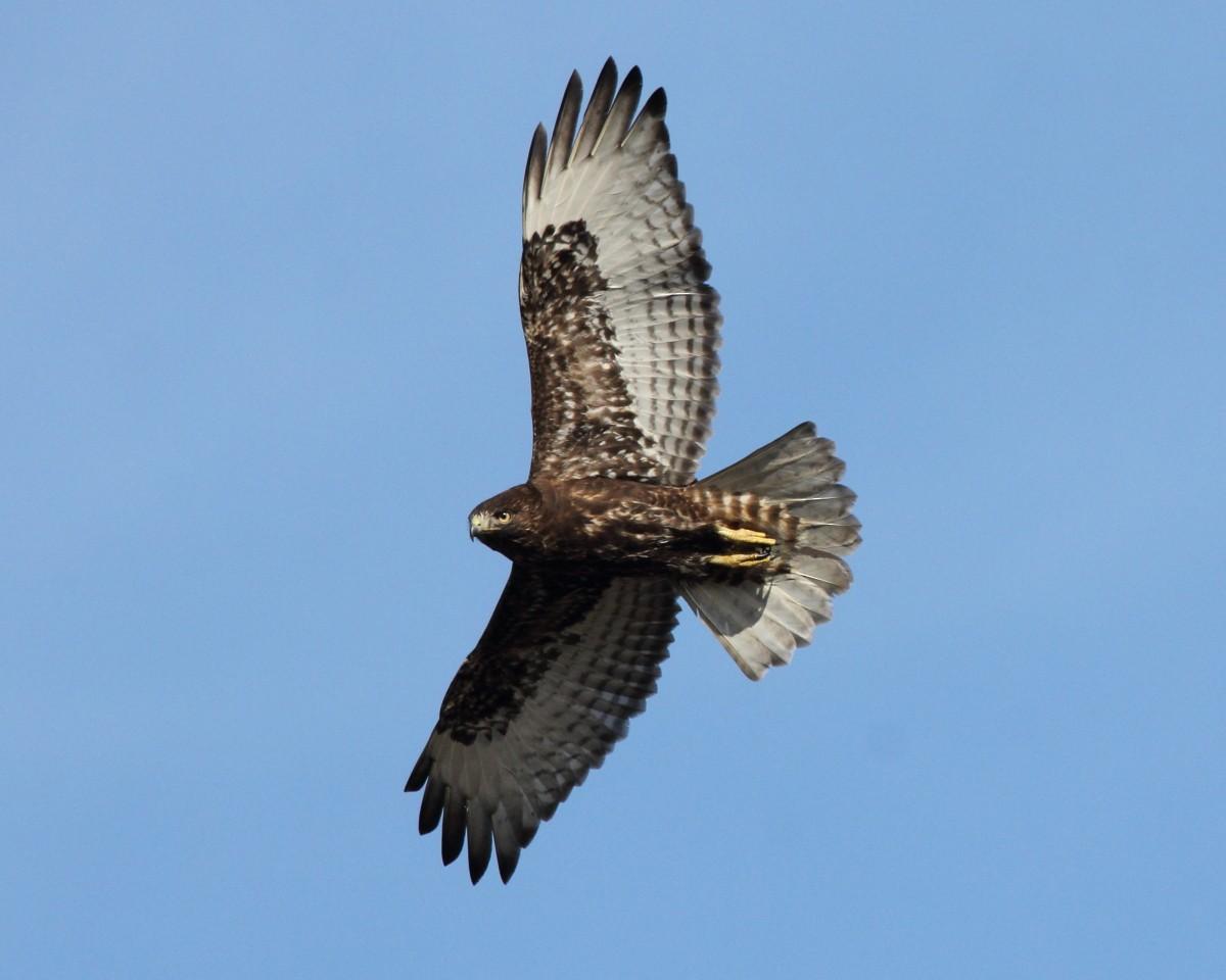 Red-tailed Hawk (calurus/alascensis) ML45580701