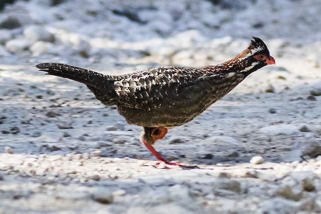 Long-tailed Wood-Partridge