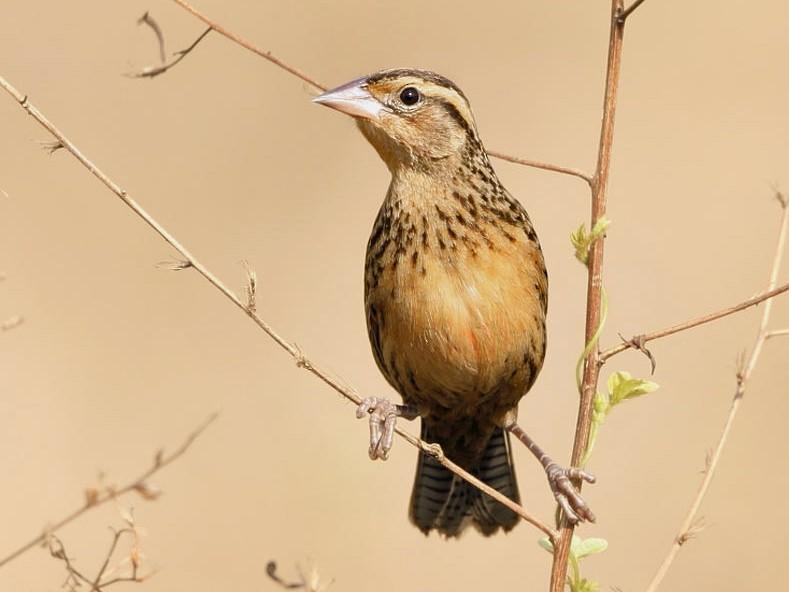 Red-breasted Meadowlark - Tom Murray