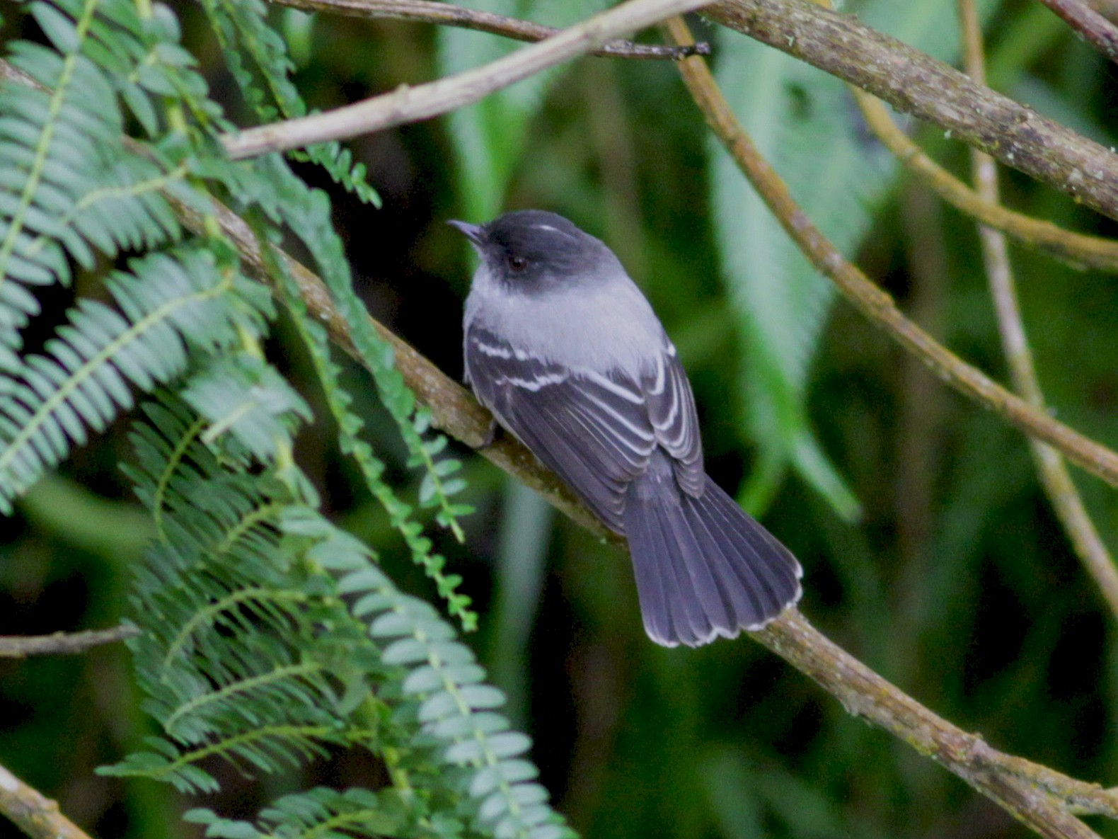 Torrent Tyrannulet - Jay McGowan