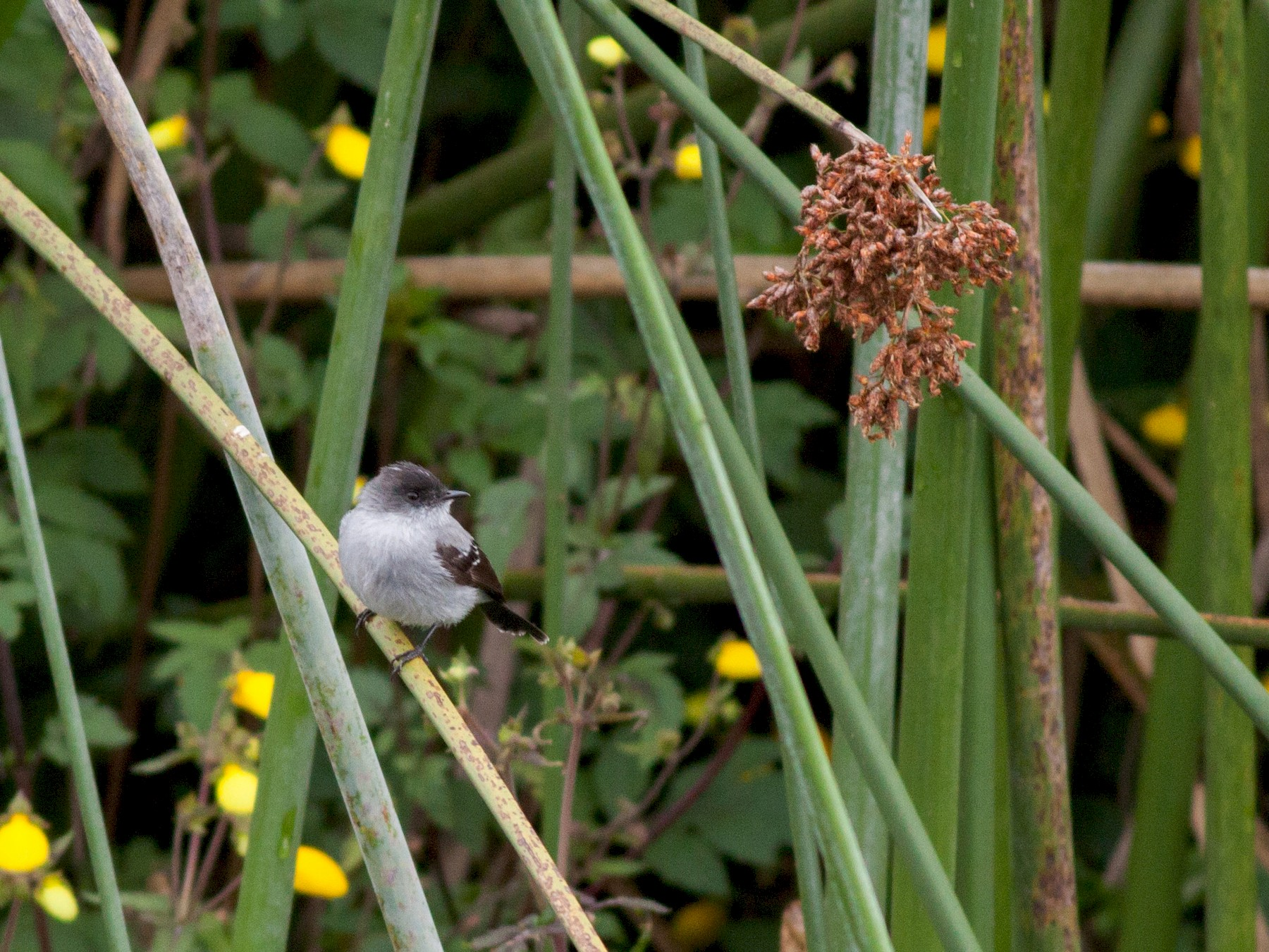 Torrent Tyrannulet - Ian Davies