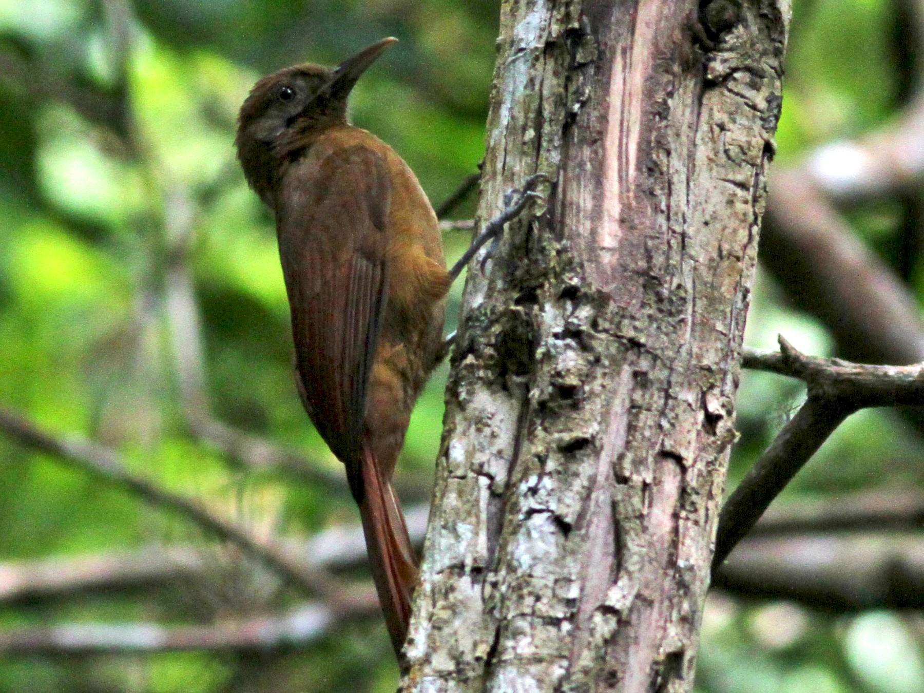 Plain-brown Woodcreeper - Jay McGowan