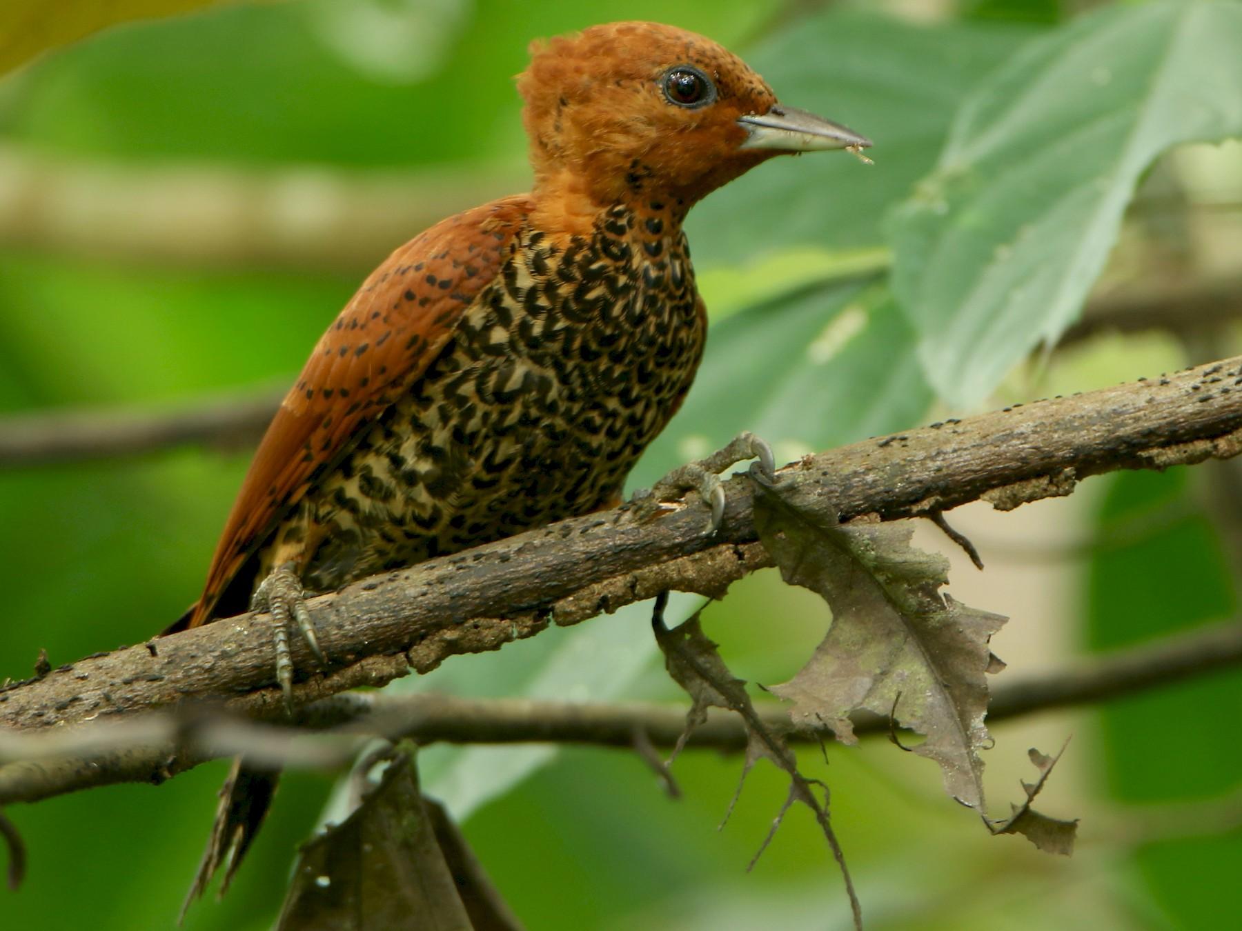 Cinnamon Woodpecker - Albert Linkowski