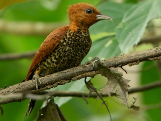- Cinnamon Woodpecker