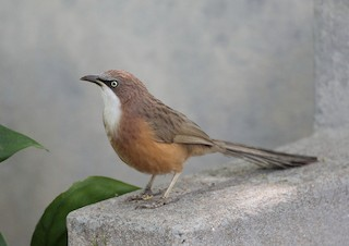 - White-throated Babbler