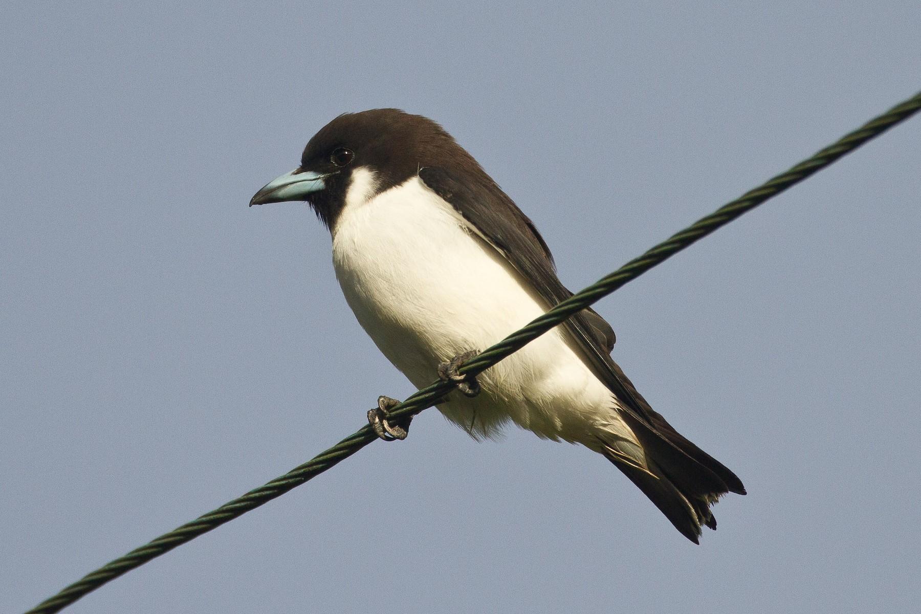 Fiji Woodswallow - Eric VanderWerf
