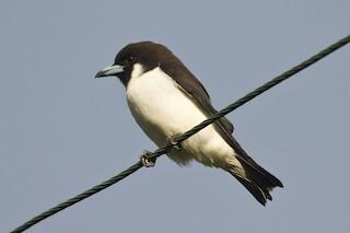 - Fiji Woodswallow