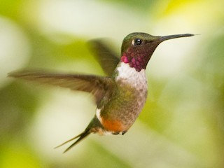 - Magenta-throated Woodstar