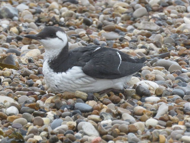 Second Basic Common Murre.