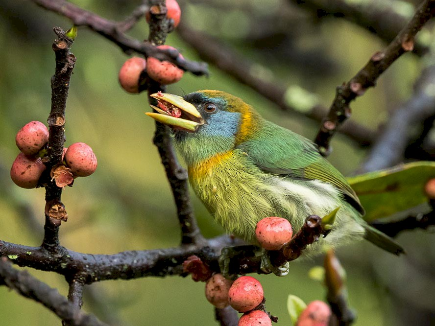 Red-headed Barbet - Dorian Anderson