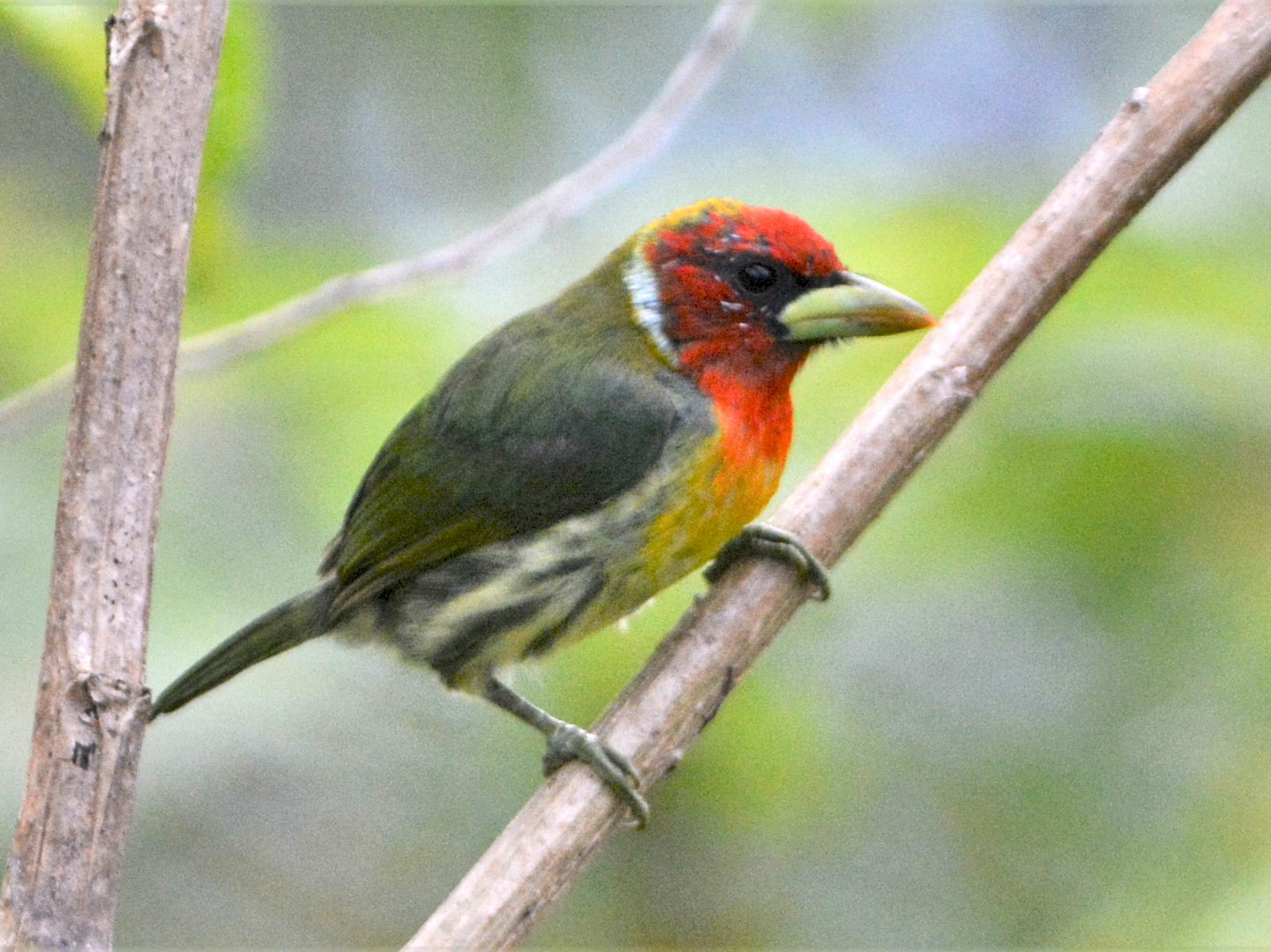 Red-headed Barbet - David Hollie