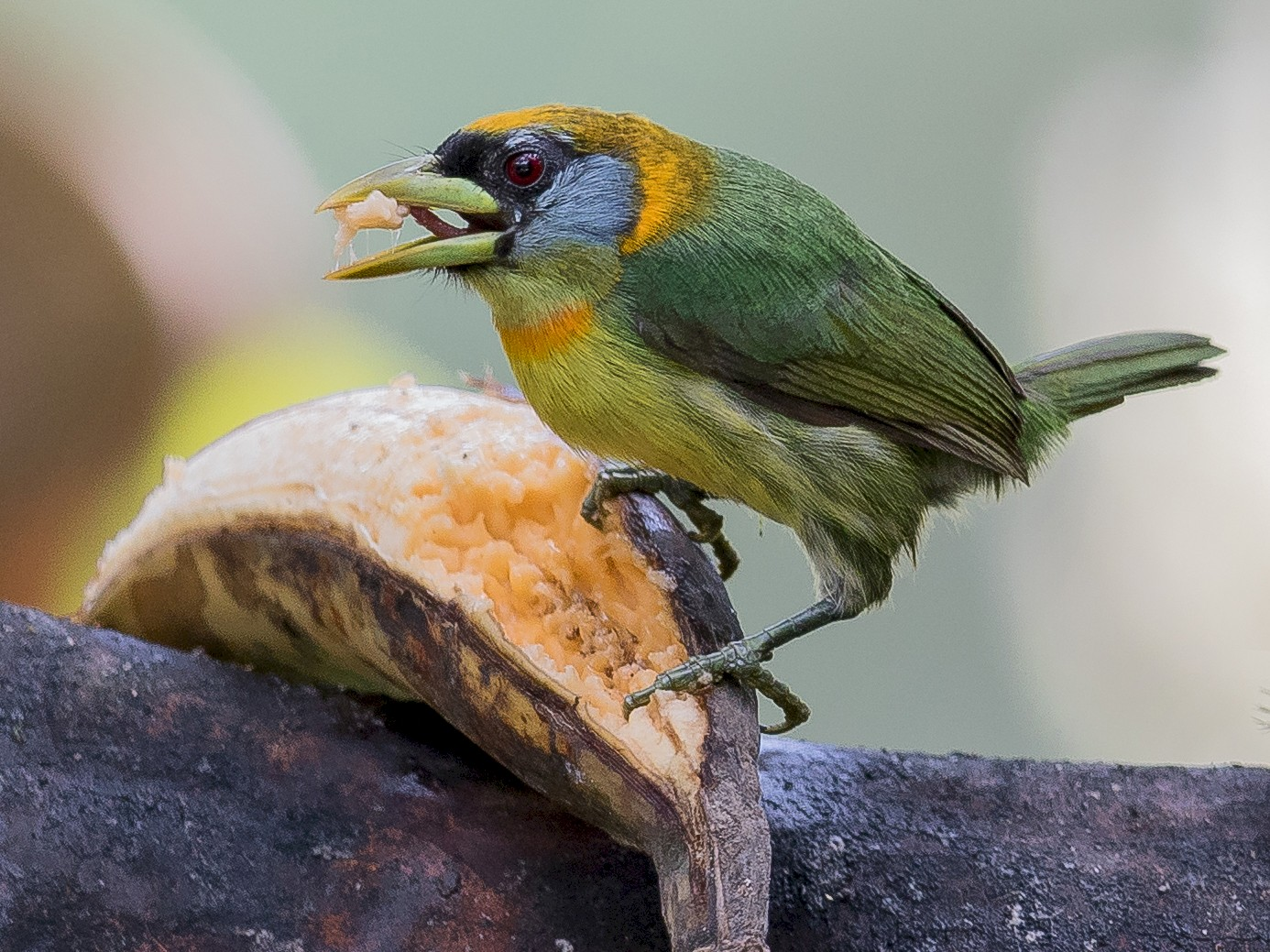 Red-headed Barbet - Peter Hart