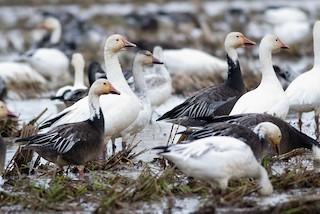 Snow Goose, ML45723131