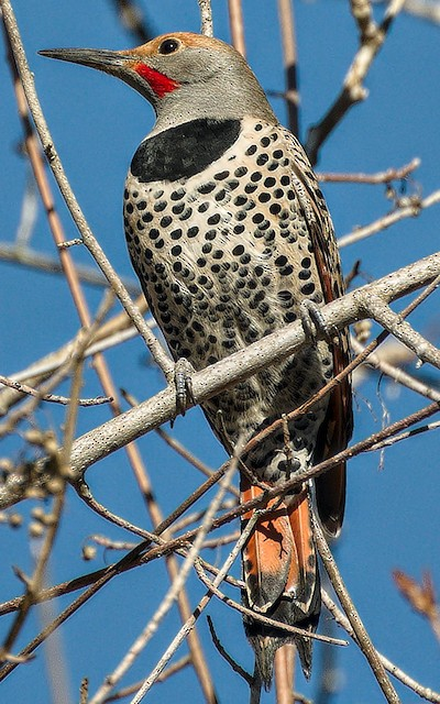 Northern Flicker (Red-shafted)