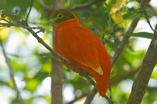 - Orange Dove