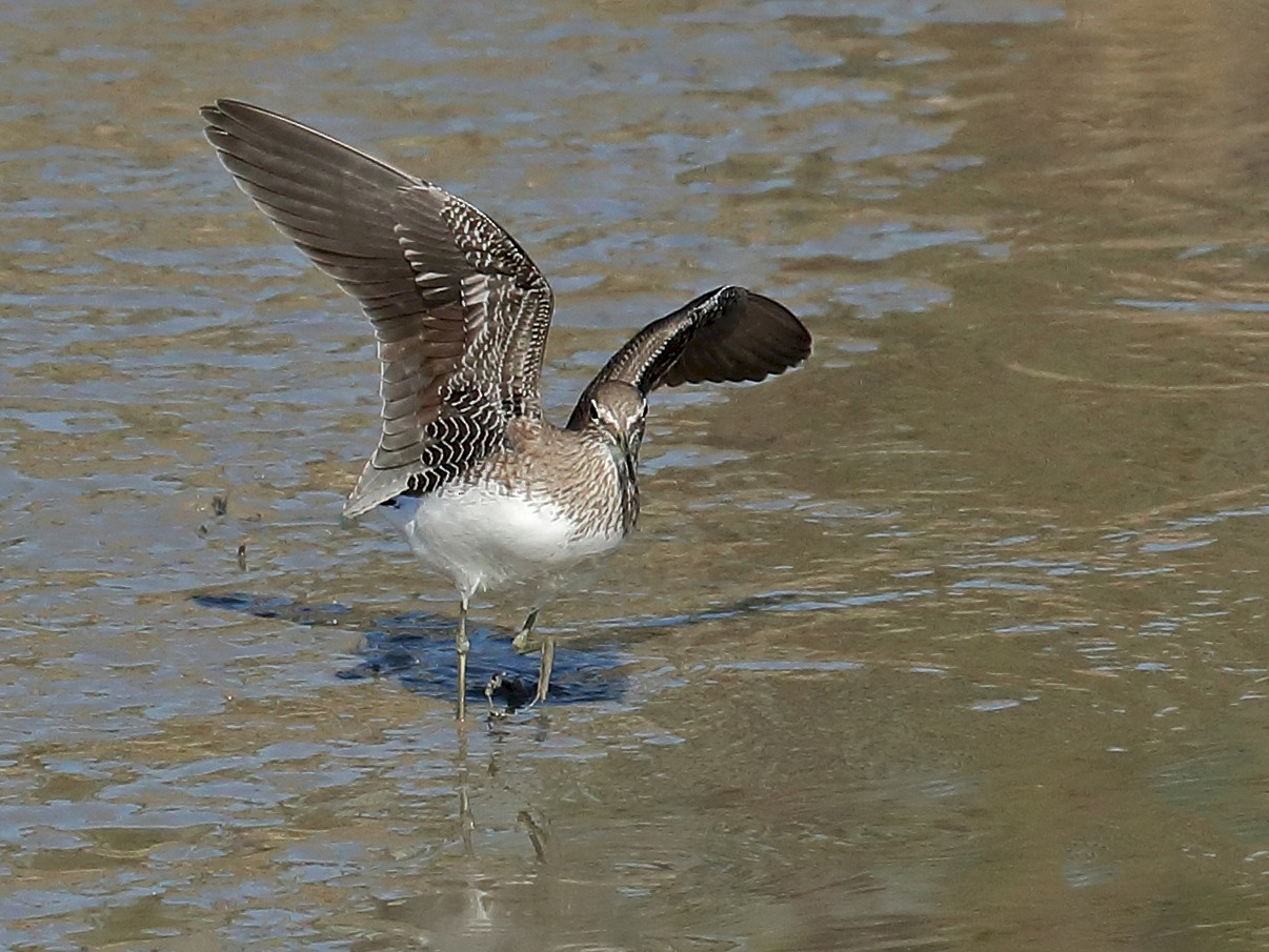 Green Sandpiper - Todd Burrows
