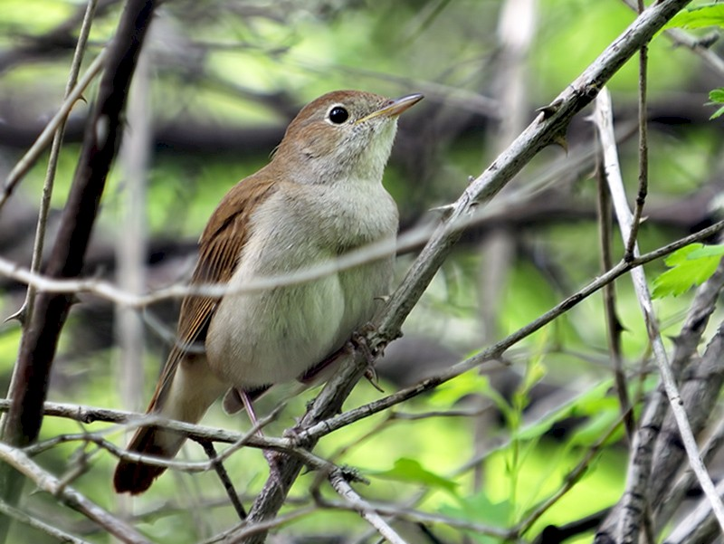 Common Nightingale - Ferit Başbuğ
