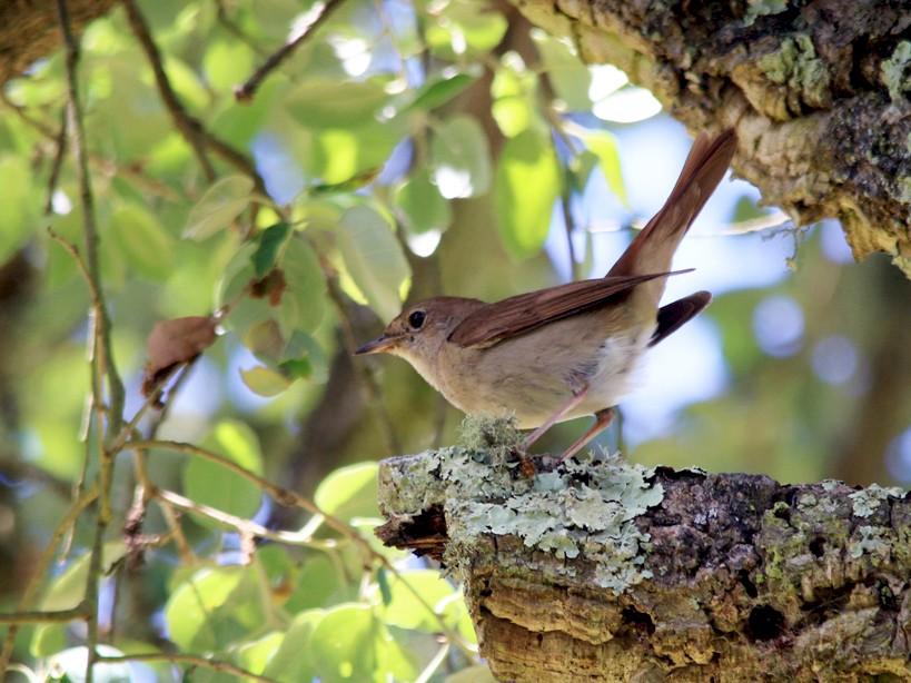Common Nightingale - Alexandre Hespanhol Leitão