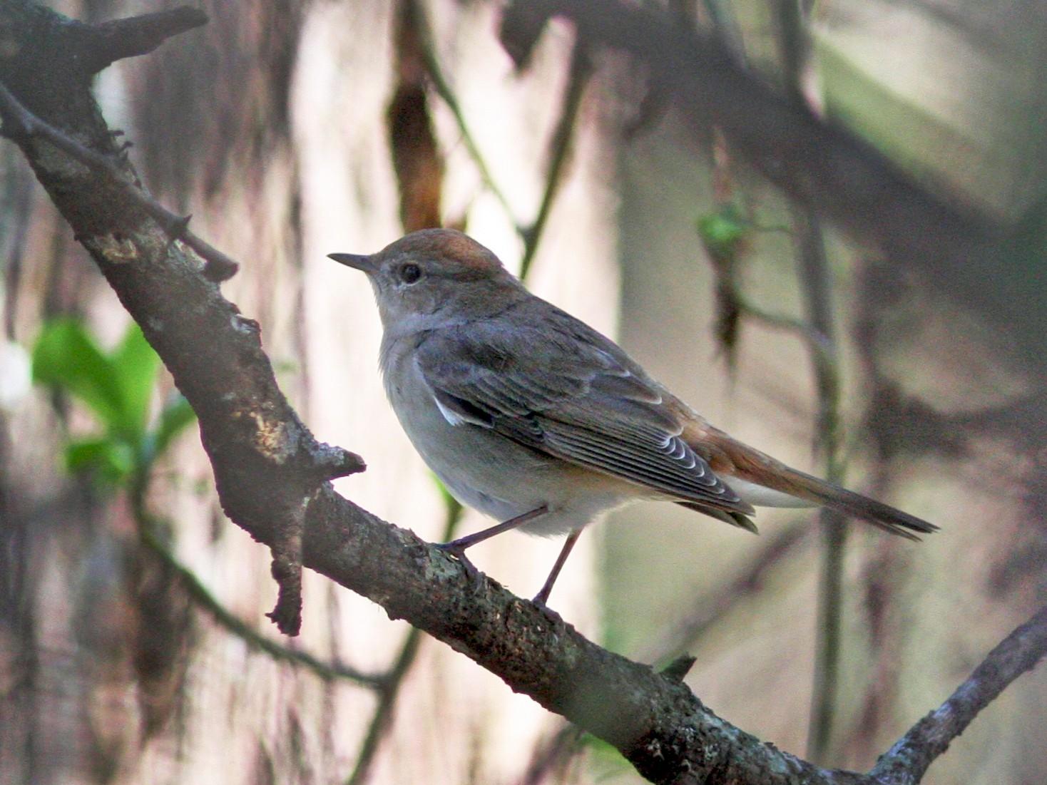 Common Nightingale - Daniel Jauvin