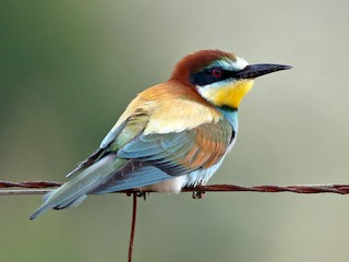 - European Bee-eater