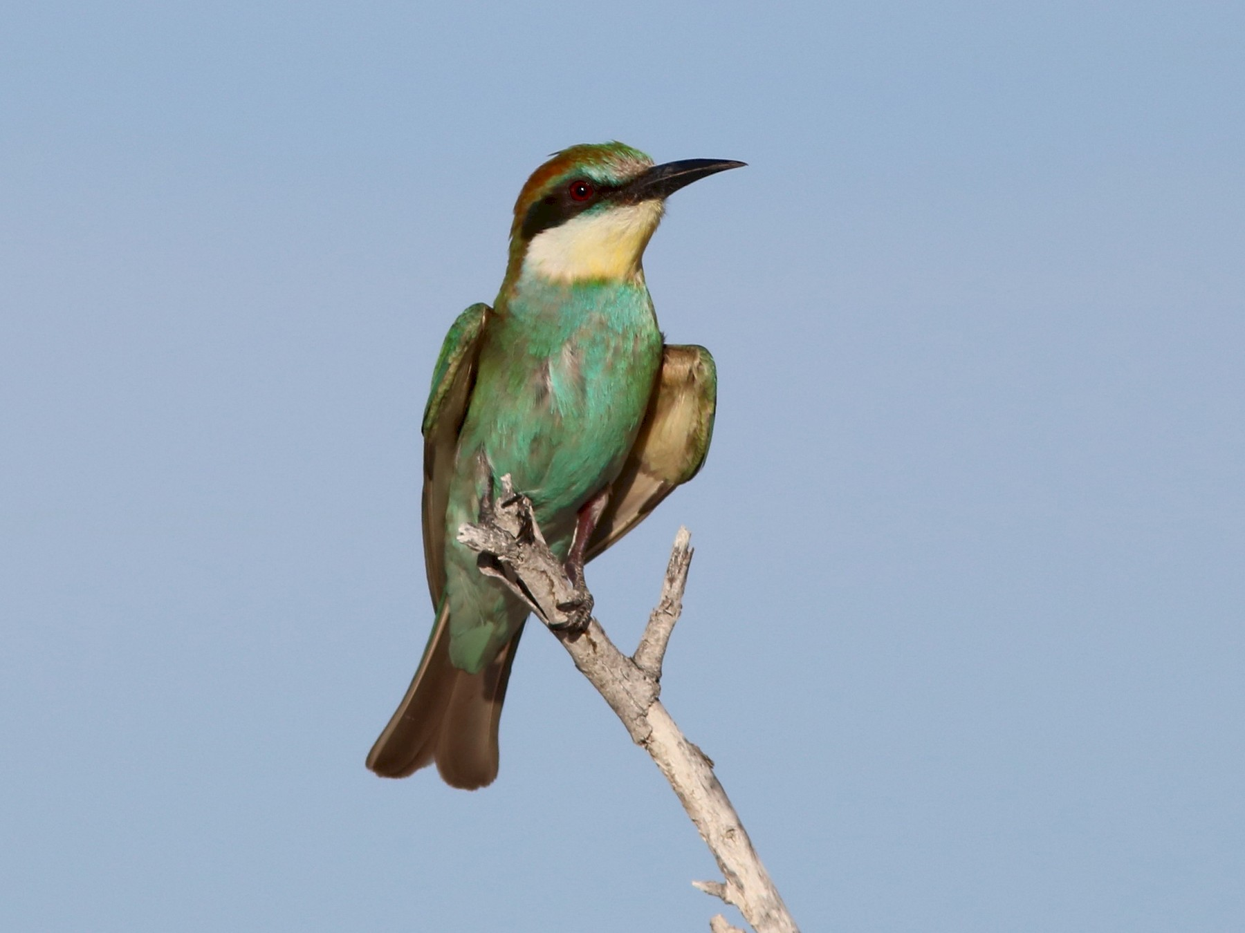 European Bee-eater - John Drummond