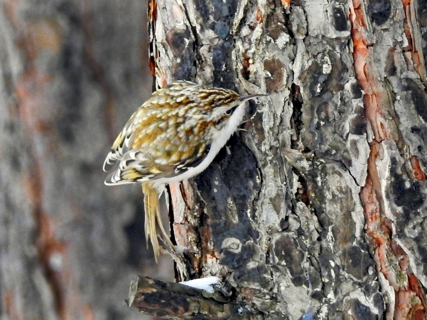 Eurasian Treecreeper - Scott Young