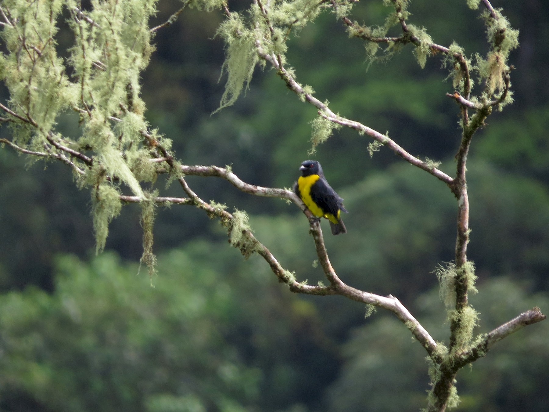 Blue-and-gold Tanager - kenneth reyes
