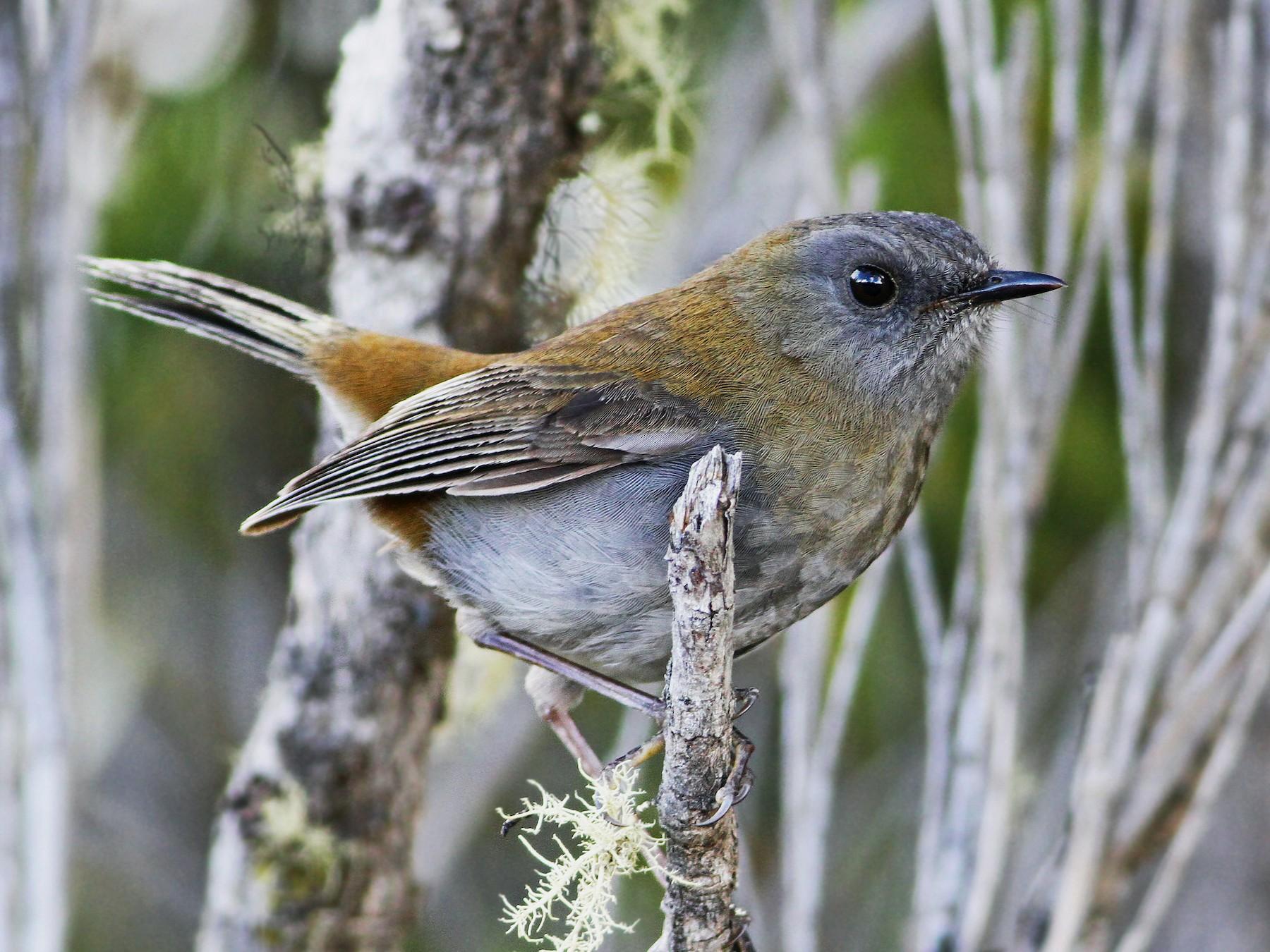 Black-billed Nightingale-Thrush - Andrew Spencer