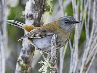 - Black-billed Nightingale-Thrush
