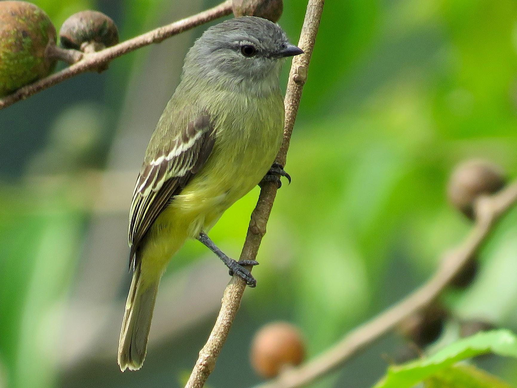 Yellow-crowned Tyrannulet - Rolando Jordan