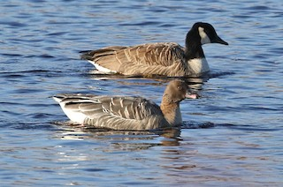 Pink-footed Goose, ML45782111