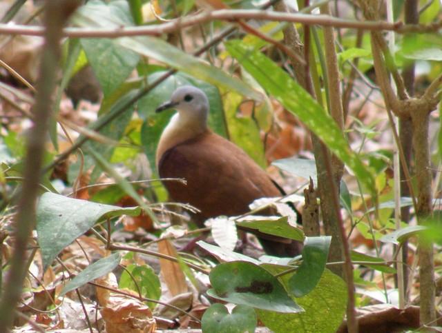 Wetar Ground Dove