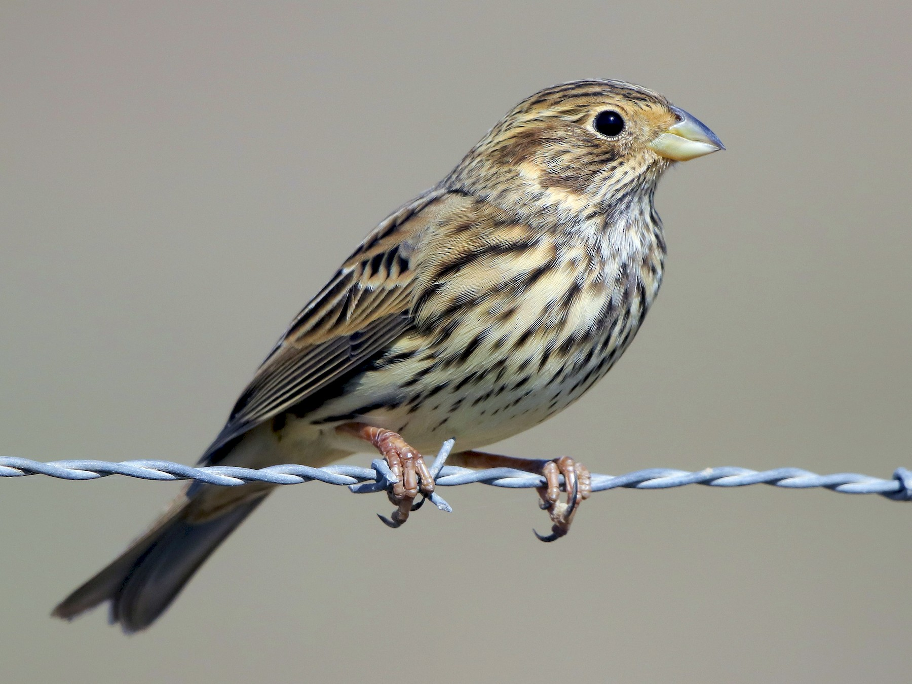 Corn Bunting - PMDE ESTEVES