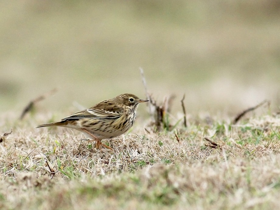 Meadow Pipit - Adrien Mauss