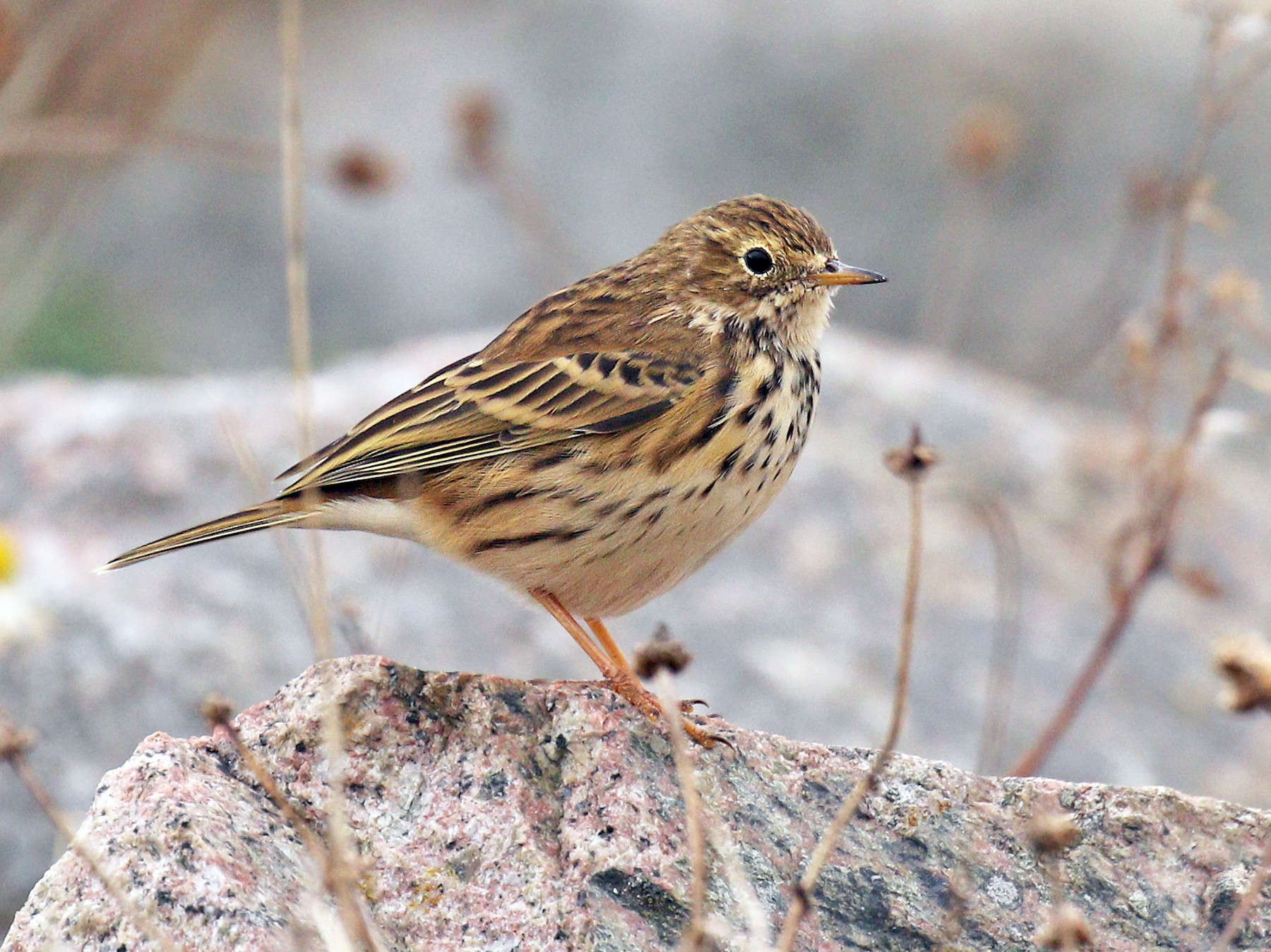 Meadow Pipit - Ryan Schain