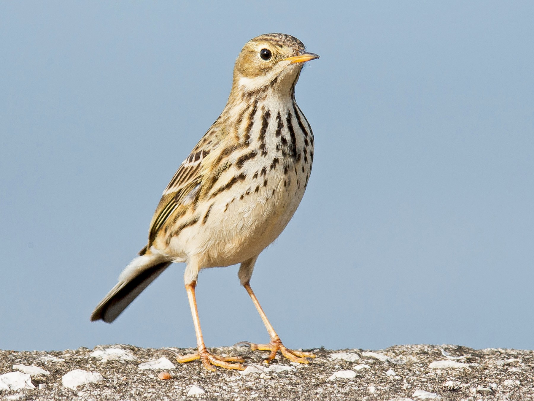 Meadow Pipit - PMDE ESTEVES