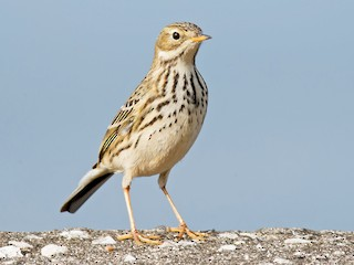 - Meadow Pipit