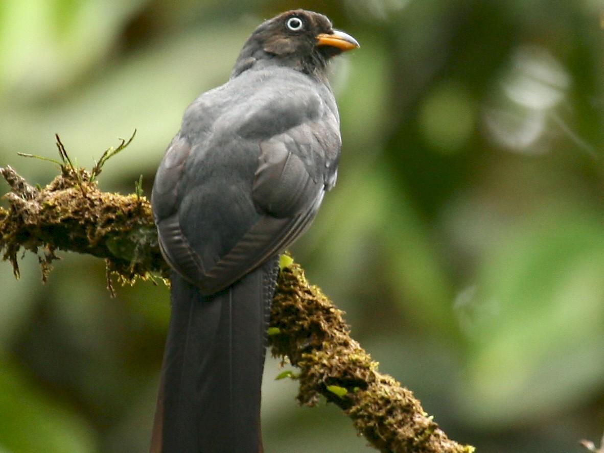 Lattice-tailed Trogon - Michael Woodruff