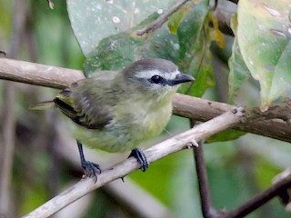 - Brown-capped Tyrannulet