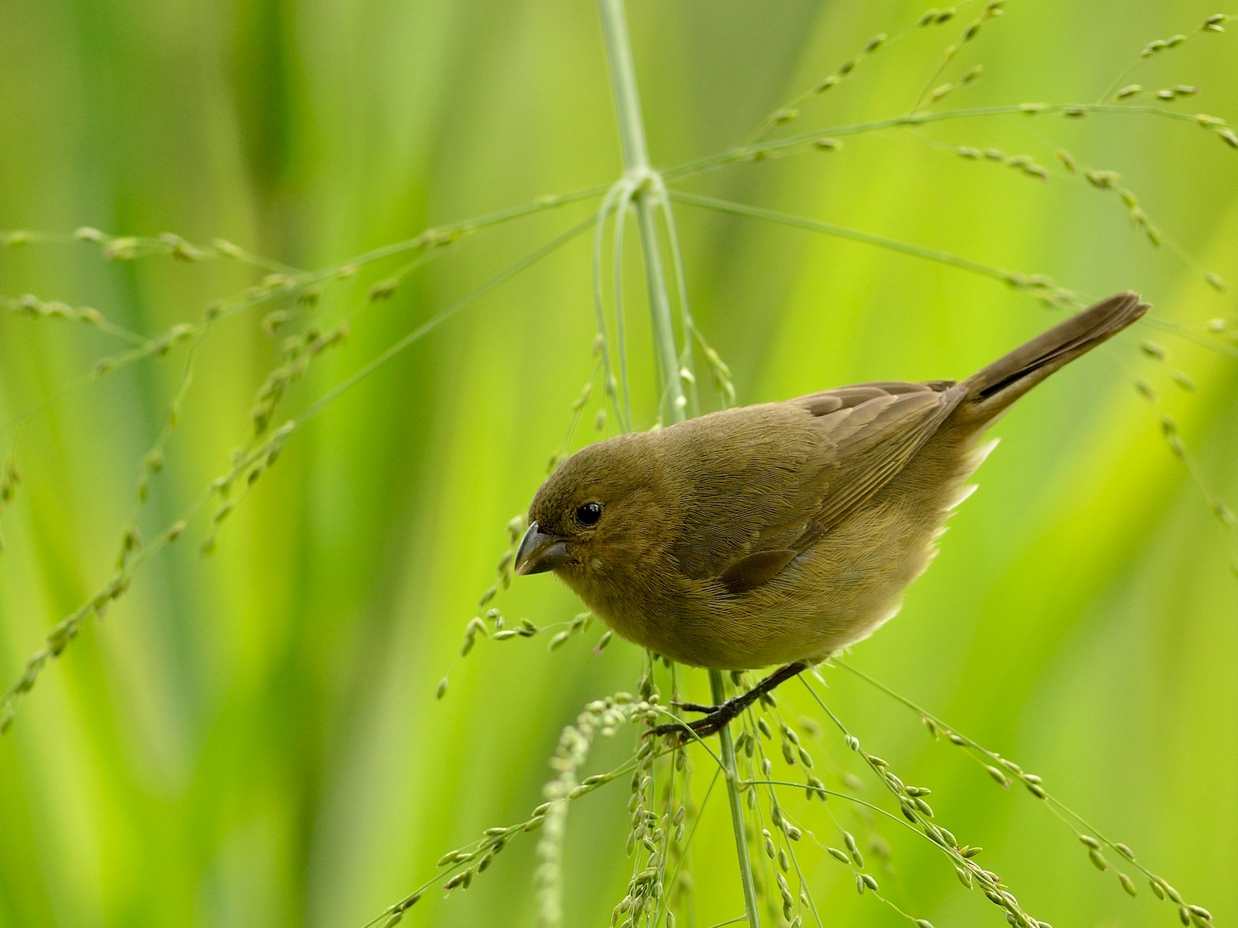 Yellow-bellied Seedeater - Neil Diaz