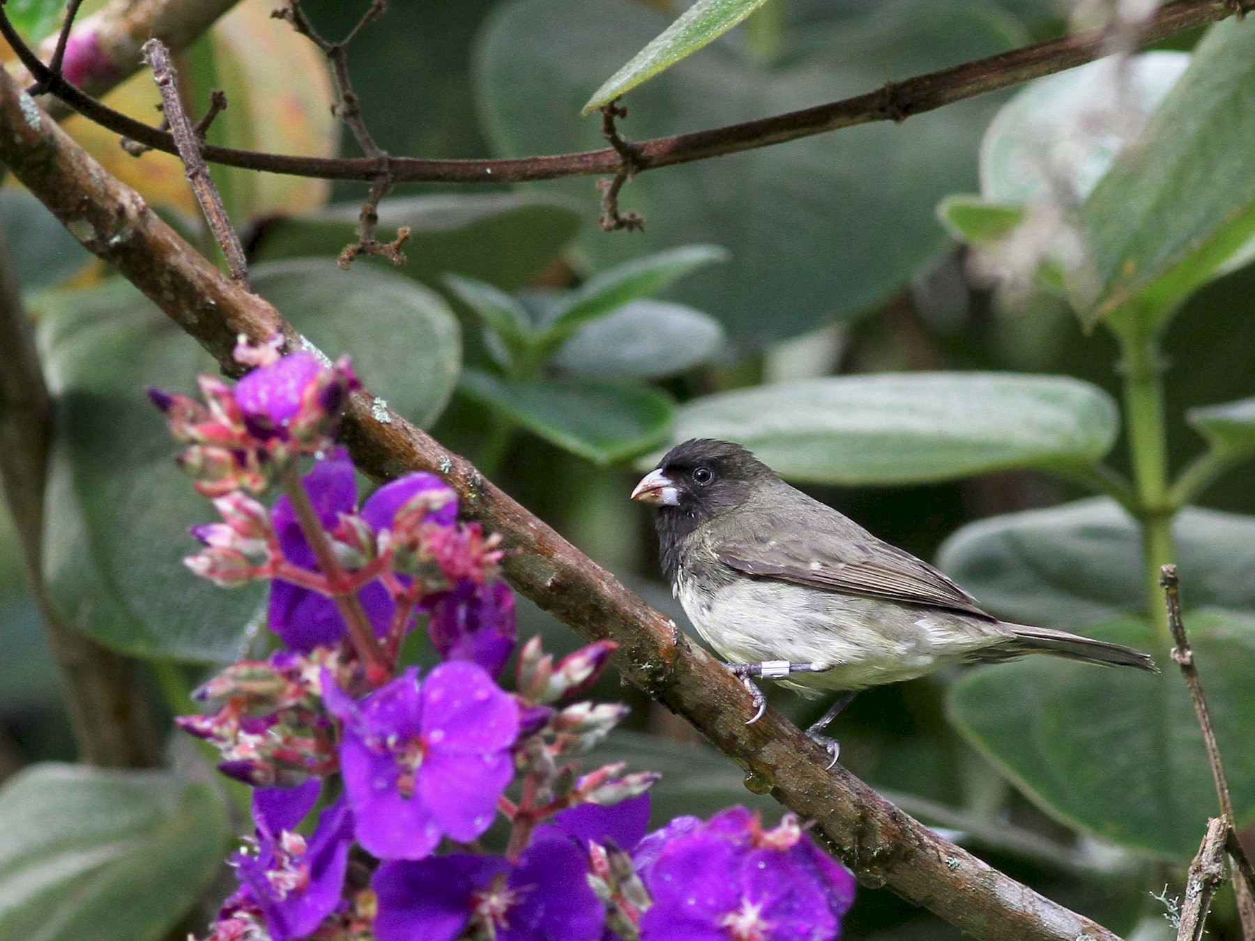 Yellow-bellied Seedeater - Michael McCloy