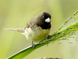 - Yellow-bellied Seedeater