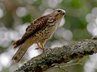 - Broad-winged Hawk (Northern)