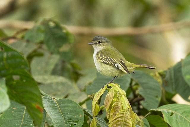 ©Charley Hesse TROPICAL BIRDING - Mistletoe Tyrannulet