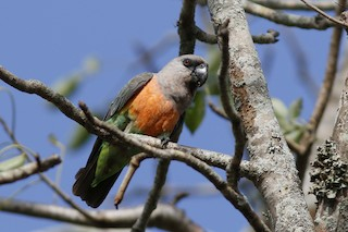 - Red-bellied Parrot