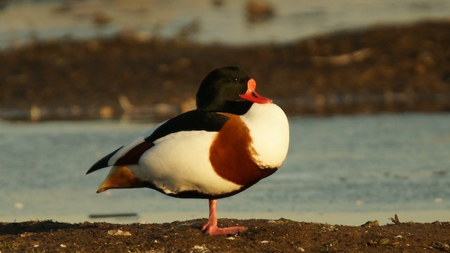 Common Shelduck