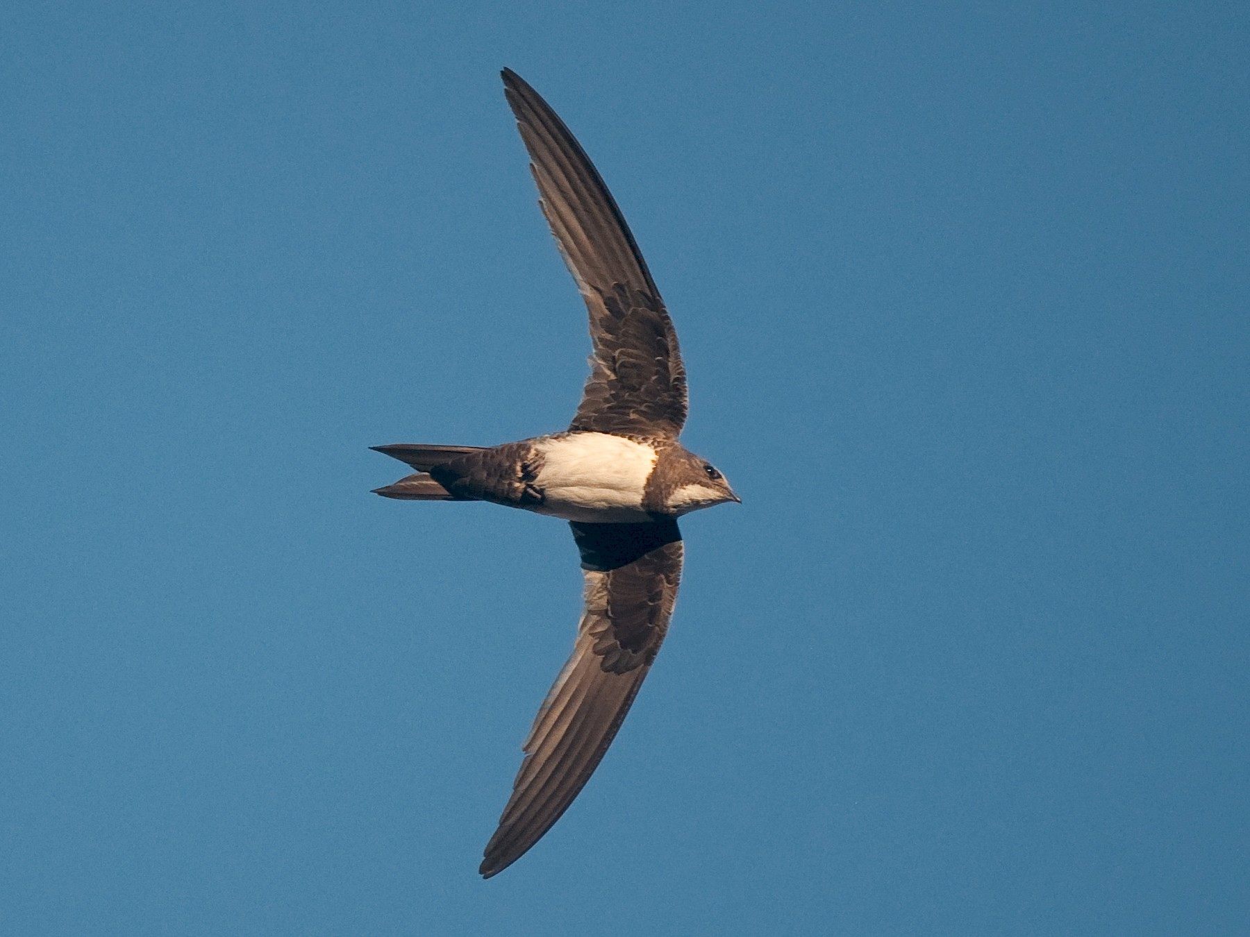 Alpine Swift - Etienne Artigau